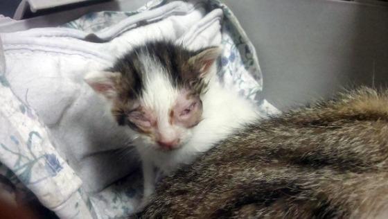 Zdjęcie opisu zbiórki Kocięta i okrutny koci katar