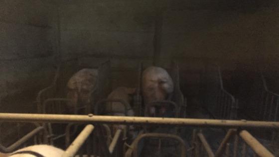 Zdjęcie opisu zbiórki Drugie życie 14 świnek z Korabek