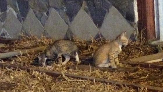 Zdjęcie opisu zbiórki Ratunek dla kotów z Grecji!