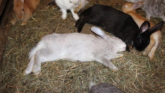 Zdjęcie opisu zbiórki 123 króliki z agroturystyki