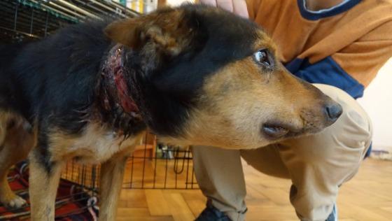 Zdjęcie opisu zbiórki Psy miały wrośnięte łańcuchy!
