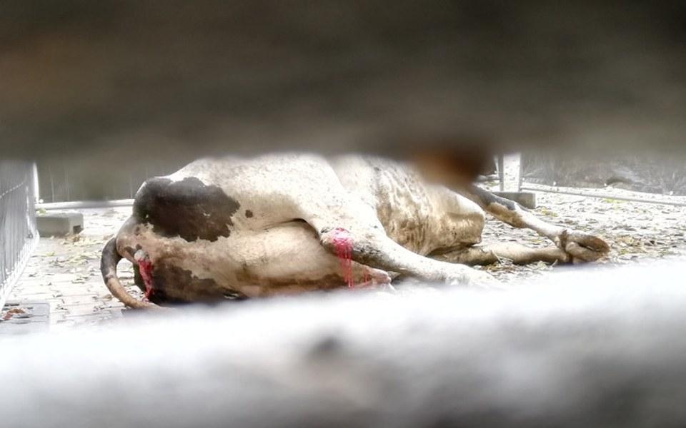 Zbiórka Ujawniamy przemoc w rzeźniach - zdjęcie główne