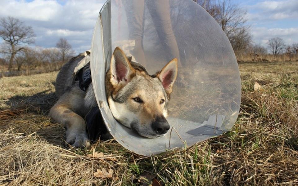 Zbiórka Endoproteza dla psa NITROXA. - zdjęcie główne
