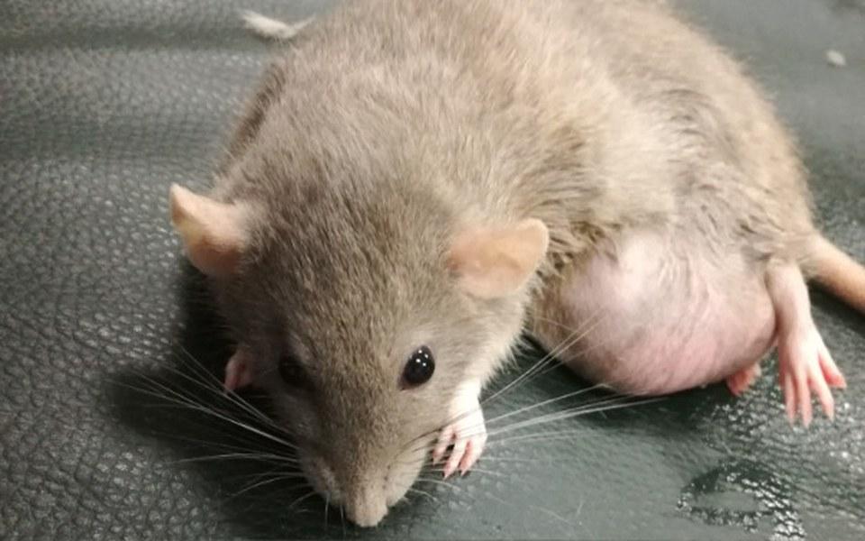 Zbiórka Szczurek z wielkim guzem. TOZ - zdjęcie główne