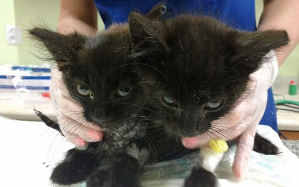 Zbiórka Leczenie kociaków z anemią - zdjęcie główne