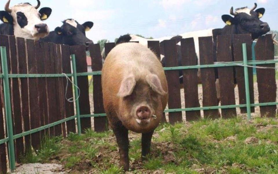 Zbiórka Domki dla ocalonych świnek - zdjęcie główne