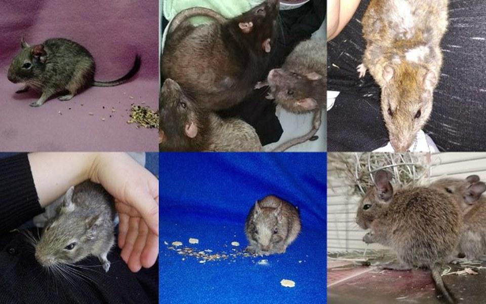 Zbiórka Koszatniczki i szczury - fv wet - zdjęcie główne