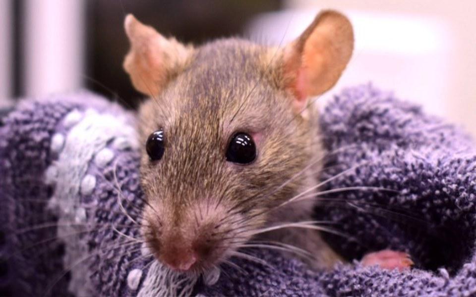 Zbiórka Jedzenie dla szczurów z DT-owych - zdjęcie główne