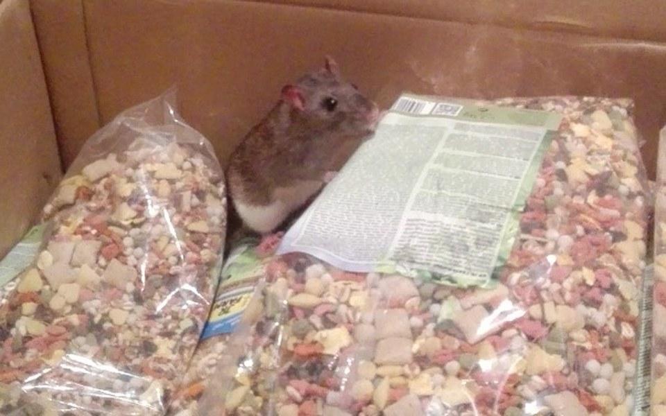 Zbiórka Karma dla szczurów z Poznania - zdjęcie główne