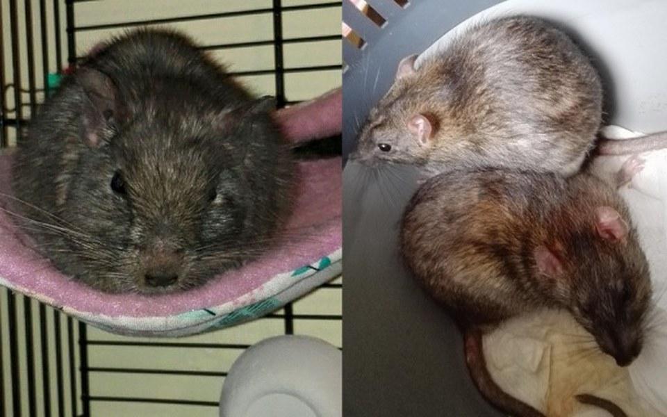 Zbiórka Arya i szczury Wrocławia - zdjęcie główne