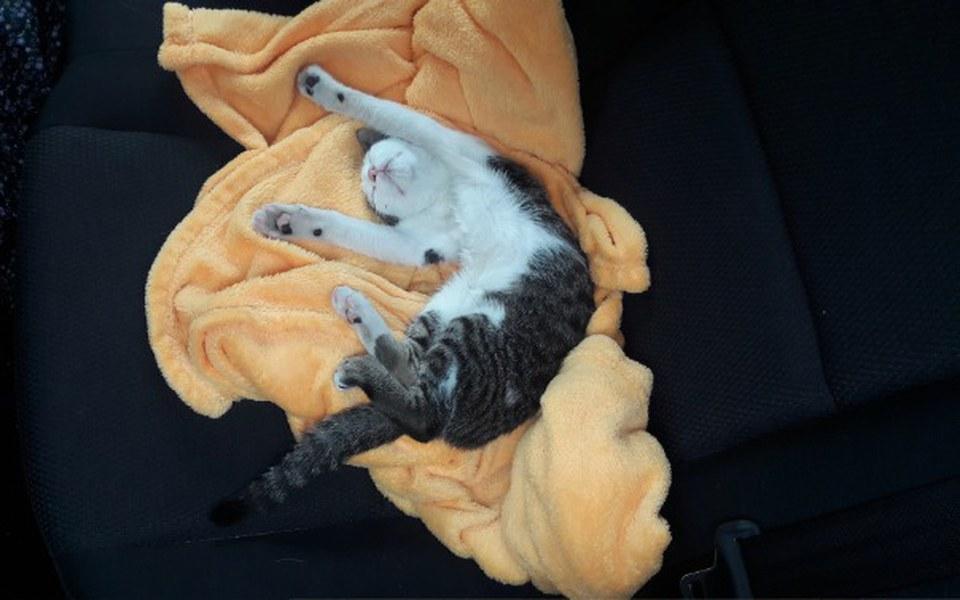 Zbiórka Handi - zwyczajny kot. - zdjęcie główne