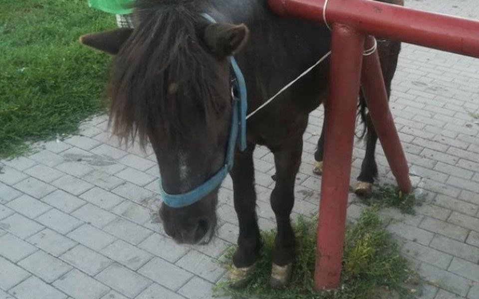 Zbiórka Chora, stara Selena z targu koni - zdjęcie główne