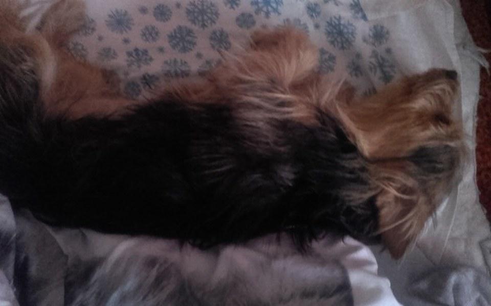 Zbiórka Operacja psa!!! Yorka - zdjęcie główne