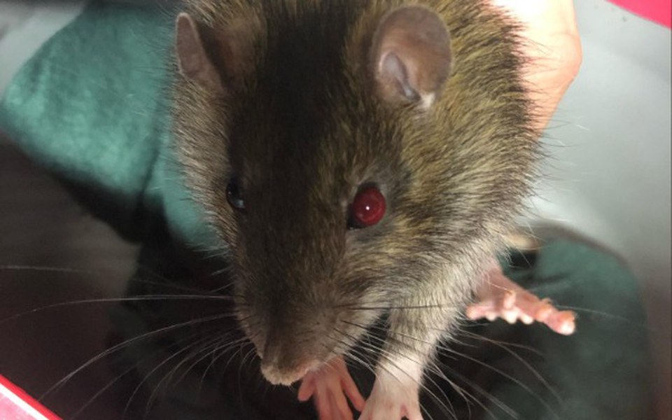 Zbiórka Leczenie szczura z Przytuliska - zdjęcie główne