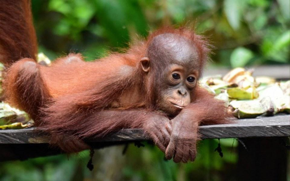 Zbiórka Orangutany na Borneo - zdjęcie główne