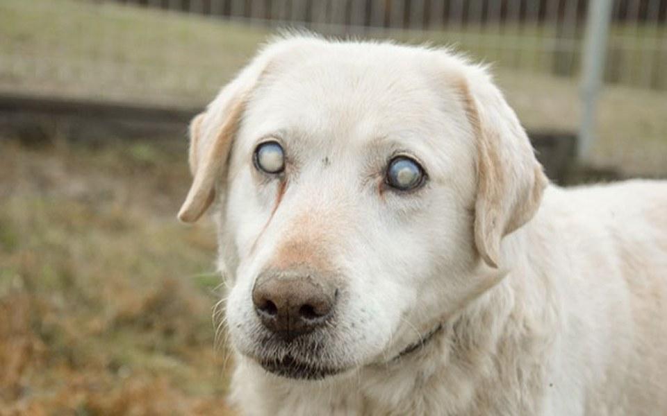 Zbiórka Leczymy niewidomego labradora - zdjęcie główne