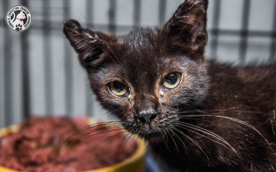 Zbiórka Koci katar, pokrzywione uszy - zdjęcie główne