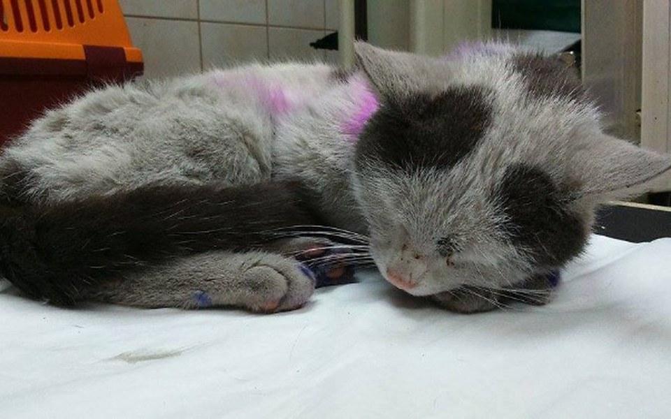 Zbiórka Sugar - zjadany żywcem kotek  - zdjęcie główne